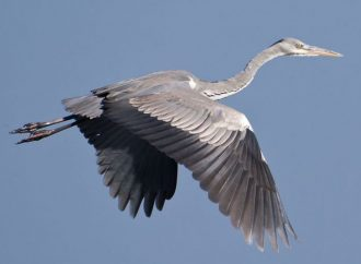 Grey heron goes fishing