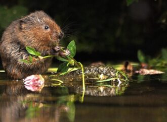 Return of the water vole!