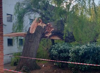 Library's giant willow crashes to ground after trunk splits